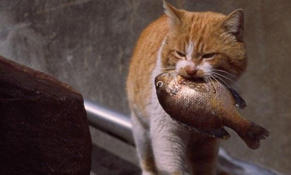 Ide+ Foto Gambar Kucing Curi Ikan Kekinian